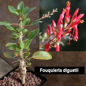 Fouquieria diguetii (Boojum Tree or Ocotillo)