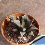 Haworthia mirabilis mundula