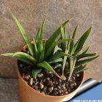 Haworthia radula longifolia
