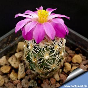Escobaria minima-nelliae Brewster Co, TX