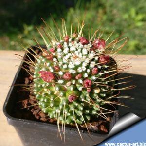 "Mammillaria hybrid ""Dolichothele x un pico"""