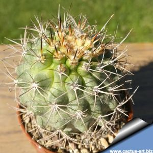 Matucana paucicostata senilis KK754