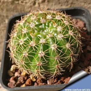 Notocactus linkii Itapoa