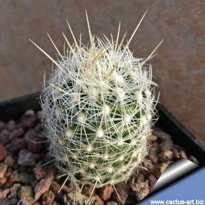 Thelocactus conothelos v. argenteus SB1862, Sandia Grande, Nuevo Leon, Mexico