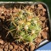 Ferocactus viridiscens subsp. littoralis (yellow spines)