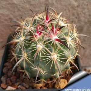 Echinomastus unguispinus v. laui SB 525 Salinas, San Luis Potosi, Mexico