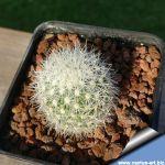 Escobaria tubercolosa SB1165 Lerdo, Durango, Mexico