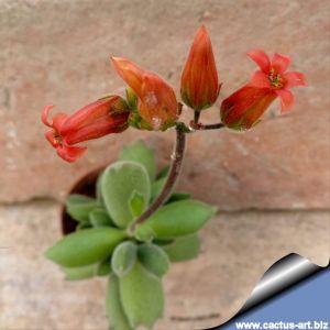 Cotyledon ladismithilensis cv.tricuspidatus