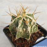 Astrophytum ornatum cv. FUKURYU HANYA