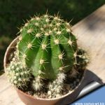 Echinopsis hybrid light purple / viola chiaro