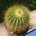Notocactus amplicostatus