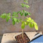 Moringa borziana (caudex)
