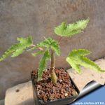 Obetia ficifolia (caudex)