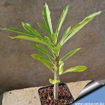 Pachypodium rutenbergianum (caudex)