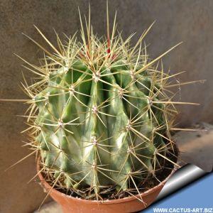 Ferocactus alamosoanus x reppehagenii variegatus