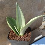 Sansevieria trifasciata cv.moonshine