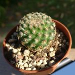 Mammillaria huitzilopoctli