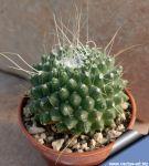 Mammillaria spinosissima  cv. Un Pico forma montruosa (subnuda)