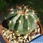 Melocactus caesius Mantequia