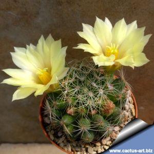 """Mammillaria sphaerica """"Tonda"""" (round form)"""
