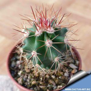 Echinocereus coccineus v. gurneyi SB396 Brewster Co, TX