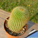 Notocactus leninghausii cv. Setispinum