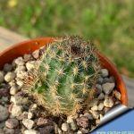 Pygmaecereus rowleyanus