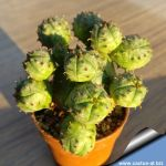 Euphorbia infausta cv. Spheres