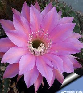 Echinopsis hybrid cv. CALIDA