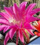 Echinopsis hybrid cv. MARIA PIAZZA (Schick)