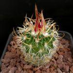 Echinofossulocactus tricuspidatus forma