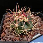 """Ferocactus gracilis Rosarito, BNC """"Fire barrel"""""""