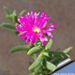 Trichodiadema intonsum Cradock (branching, large pink flowers)