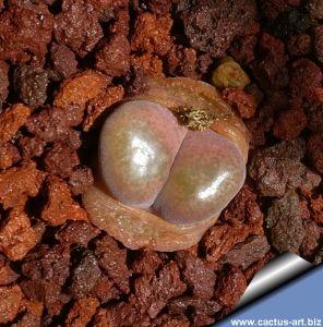 Ophthalmophyllum nordenstamii, Holtivier