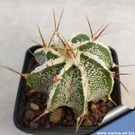 Astrophytum ornatum cv. HANYA