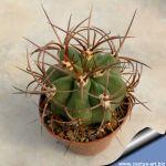 Denmoza rhodacantha dark spines