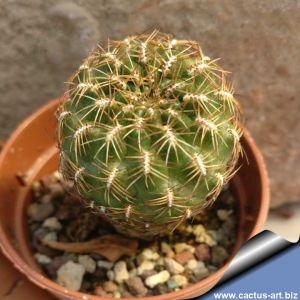 Sulcorebutia markusii L333,  Villa-Villa, Carasco, Cochabamba, Bolivia, 2700-3000m