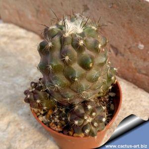 Copiapoa hornilloensis