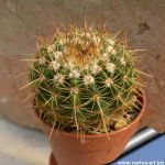 Notocactus roseoluteus hybrid