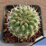 Eriosyce sp. (Pyrrhocactus) HR 12, La Campana, Portezuelo Ocoa, Chile