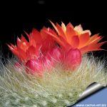 Notocactus haselbergi Rio Grande do Sul