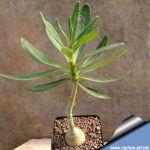 Pachypodium succulentum (seed grown with caudex)