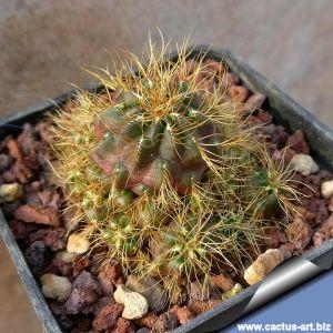 Sulcorebutia hertusii v. aureicapitata LH691 (Sulcorebutia crispata v. senilis) Zudanes, Sucre, Bolivia