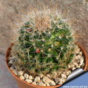 Mammillaria pygmaea