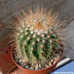 Notocactus muegelianus hybrid