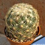 Coryphantha compacta Mazatlan-Durango