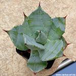 Agave hybrid potatorum x titanota