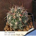 Sclerocactus nyensis RP137 Silver Peak, NV, USA