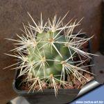 Tephrocactus marayensis (Tephrocactus sp. Marajes, San Juan, Argentina)