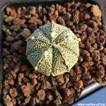 Astrophytum CAP-AS (5 ribs)